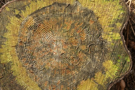 treetrunk: Wooden tree trunk circles details Stock Photo