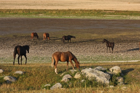 terrestrial mammal: Nature in south Sweden in the province of Skåne, horses on a field Stock Photo