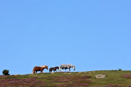 ne: Nature in south Sweden in the province of Sk�ne, horses on a field