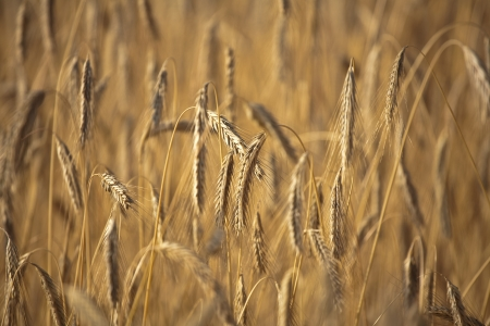 Fiel of wheat in the summer in denmark Stock Photo - 14302078