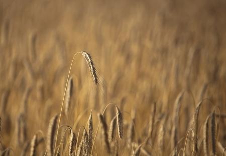 Fiel of wheat in the summer in denmark Stock Photo - 14302003