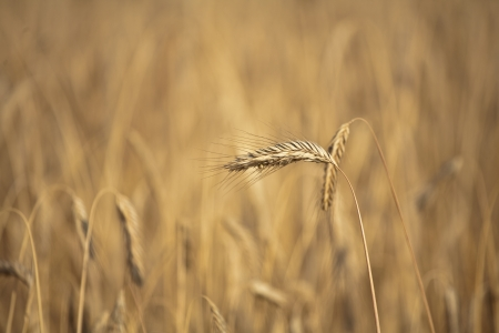 Fiel of wheat in the summer in denmark Stock Photo - 14302053