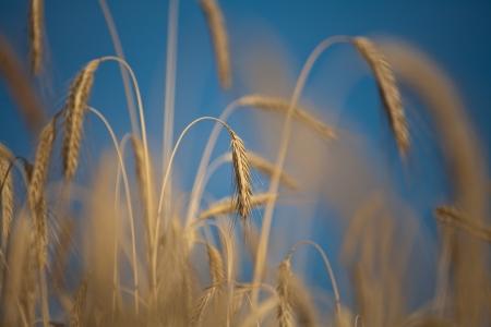 Fiel of wheat in the summer in denmark Stock Photo - 14301995