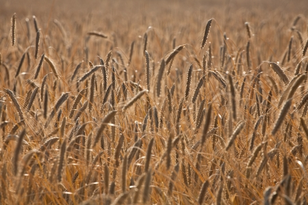Fiel of wheat in the summer in denmark Stock Photo - 14302099