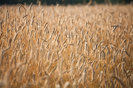 Fiel of wheat in the summer in denmark Stock Photo - 14302097
