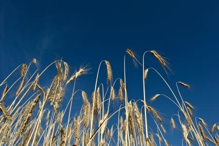 Fiel of wheat in the summer in denmark photo