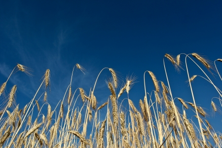 Fiel of wheat in the summer in denmark Stock Photo - 14302051