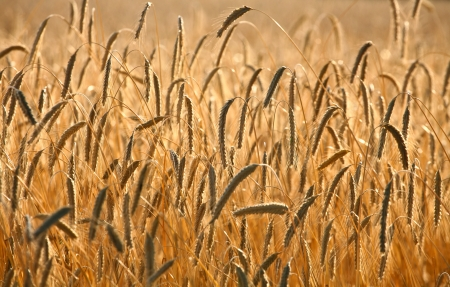 Fiel of wheat in the summer in denmark Stock Photo - 14302094