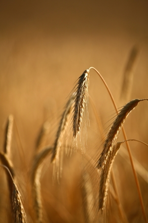 Fiel of wheat in the summer in denmark Stock Photo - 14302067