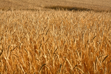 Fiel of wheat in the summer in denmark Stock Photo - 14302112