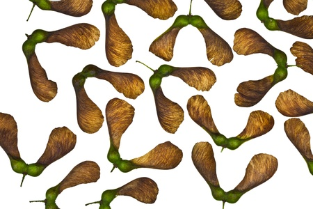 symetry: Maple tree fruit detail composition Stock Photo