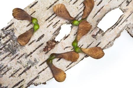 Maple tree fruit detail composition Reklamní fotografie