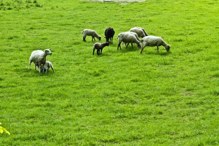 Sheeps on a field in denamrk in spring photo