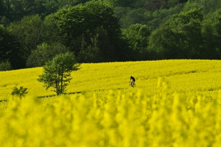 feld: Yellow rapse field in denmark in spring