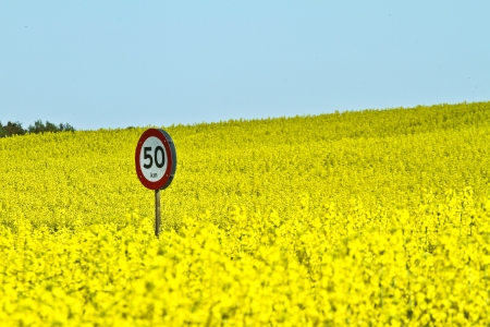 Yellow rapse field in denmark in spring