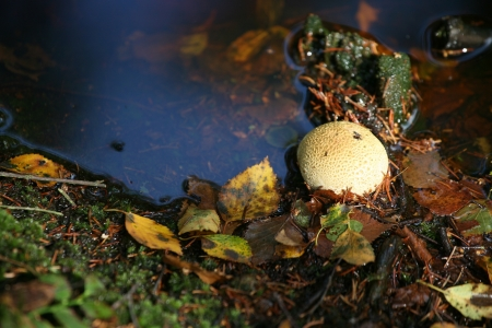 mortal danger: nature in autumn: mushrooms  in a forest denmark Stock Photo