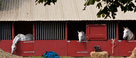 horse show: Horse show in denmark in the summer: white horses in boxes