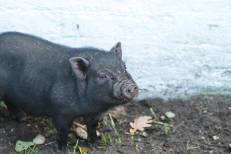 porc danois sur un terrain à l'été