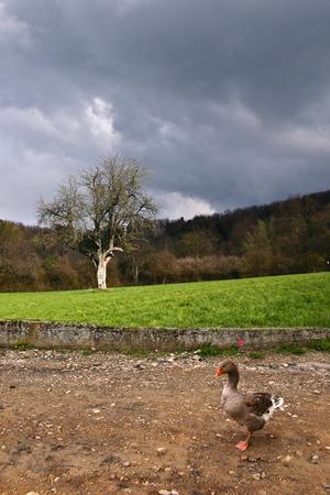 oie dans un village français dans la rue