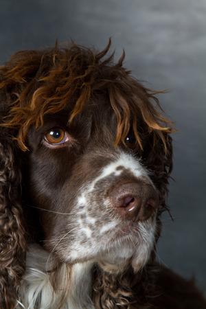 chien abattu à l'intérieur en studio