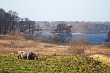 vache légèrement sombrer dans un champ très boueux