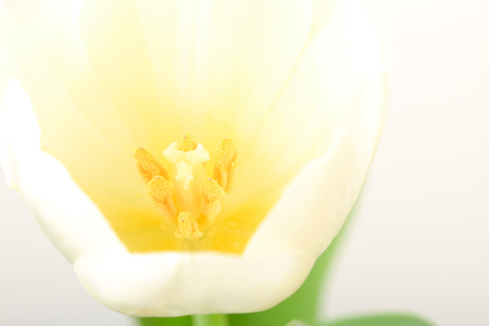 Macro picture of white tulips on white background