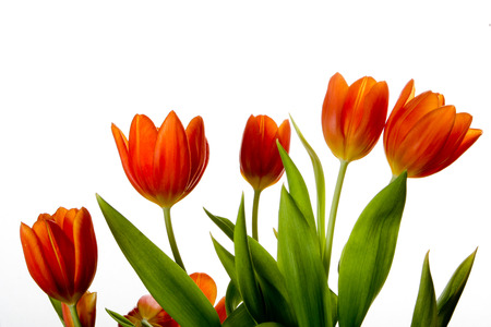 Tulips on plain white background in Denmark in spring 版權商用圖片