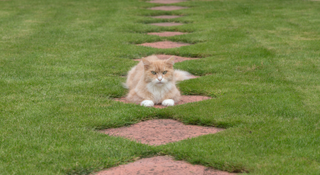 maine coon: Maine Coon cat lying in the garden