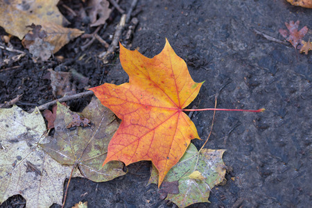 yelllow: Autumn leaf, red and gold