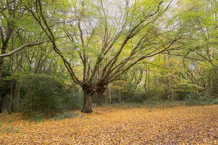 splayed: Beautiful splayed tree in the autumn forest