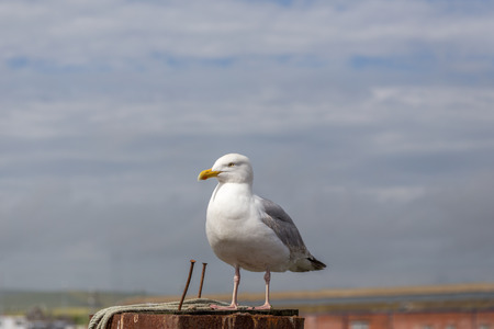 Single seagull at Newhaven port and was surprised at how tame the sea-gulls seemed to be.  They let you get very close up without moving. Stock Photo