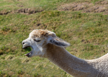 Llama was at Hainault country park, Essex  and has his mouth open like hes talking. Stock Photo