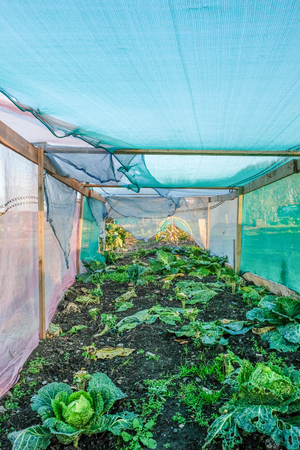 Taken on a bright November day at the allotments and looking inside a cloche of cabbages.