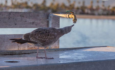 American juvenile Herring gull. Shows a seagull drinking drops of water from a tap.  Taken at Santa Barbara, California on a holiday in January.  Bright sunny late afternoon shot.