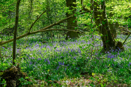 Bluebells in the  Esssex woods in springtime, with lovely light.