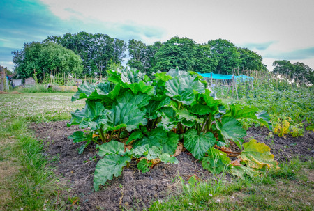 Rhubarb patch growing in the allotment.  Early summer and shows large green leaves on edible stalks.