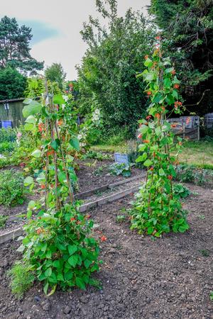 Pronkbonen die steunend stokken in de communautaire tuin opgroeien. Schot genomen in de vroege zomer.