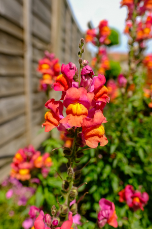 Antirrhinum,Snap Dragon flower close up.  Taken in summer