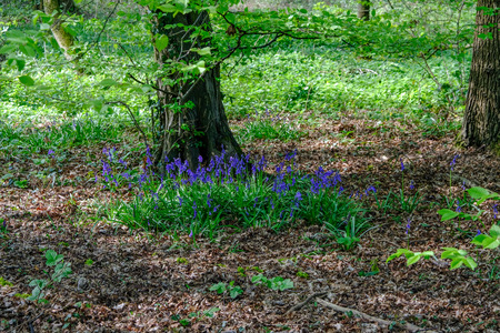 maleza: Bluebells in the wood in springtime.  Shot shows flowers agains undergrowth.