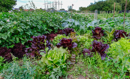 Lettuce and potatoes growing in the vegetable garden. Summer shot taken at ground level. Stock Photo