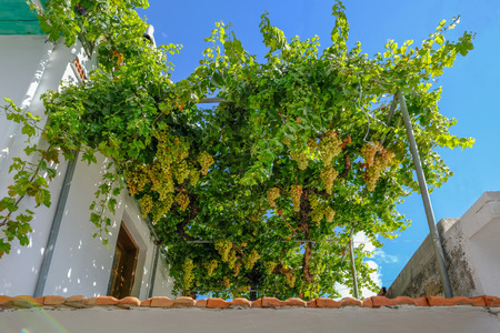 Bunches of ripe grapes ready to harvest on a verandah in Greece. Taken on a bright day in October.