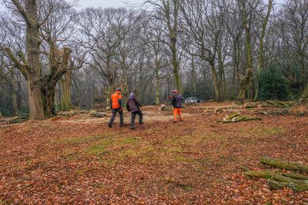 Hainault Forest, Essex, England, UK - January 9, 2018: pollarding the ancient hornbeam trees to regenerat the forest.