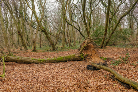 Winter shot of a fallen tree in the clearing of woodland in Essex. Stock Photo