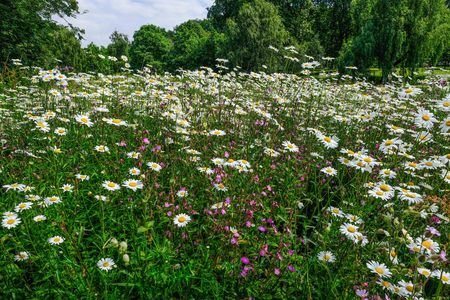 Field of white wild daisys in full bloom.   Beautiful natural background shot.  Shows pink wild flowers interspersed with the daisys.