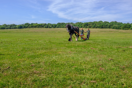 Hainault Country Park, Essex, UK -  June 6, 2018: Magnificent Shire horse logging with two men guiding him with reigns.