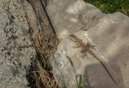 Gecko type of lizard sunning himself on a rock.