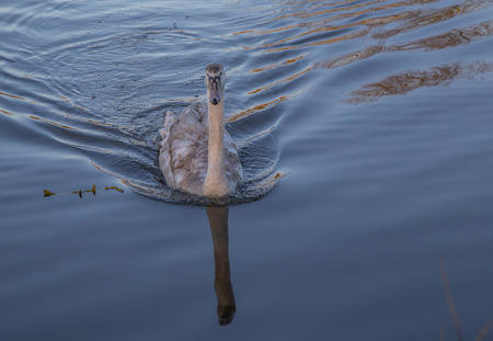 Young swan swiming in a lake at sunset with golden lights on the water.  Cygnet is central in the shot with a reflection of its neck and head.