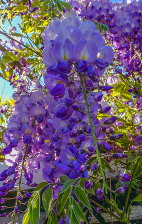 Looking up at a wisteria in full bloom.  Closeup shot of the vibrant flower. Reklamní fotografie