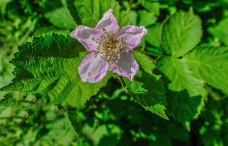Wild pink dog rose, a simple wildflower.  Bloom set centrally in the shot and surrounded by green foliage.