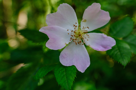 Closeup of a wild dog rose, a delicate pink flower with green foliage.  Prominent in the frame. Stock fotó